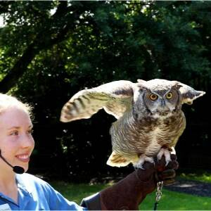 great horned owl on glove for presentation